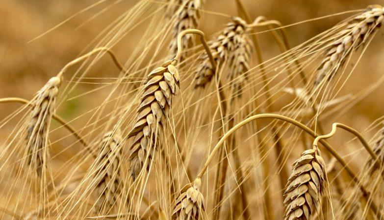 Genoma trigo